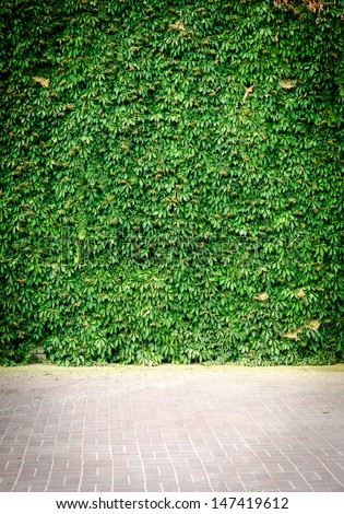 Green Ivy wall - stock photo