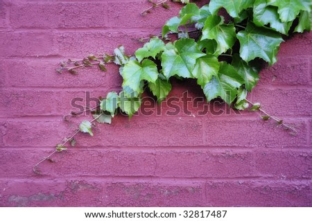 green ivy with new growth attached to a painted pink brick wall