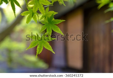 Green Japanese maple (acer palmatum) leaf