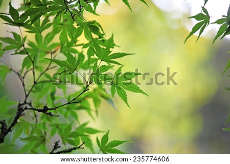 Green Japanese maple leaves in autumn - stock photo