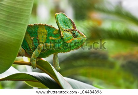 Green Jemenchameleon or Chamaelio calyptratus climbing a tree - stock photo