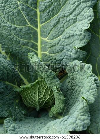 green kale - stock photo