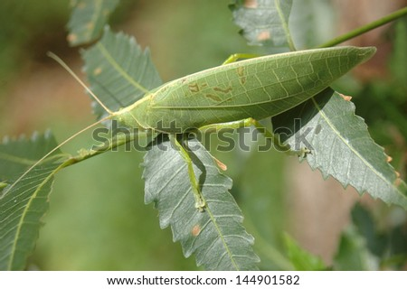 Green katydid from Tamil Nadu, South India. - stock photo