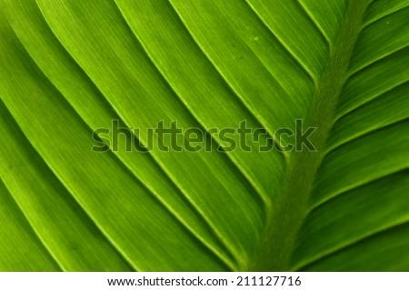 green leaf background, banana leaf - stock photo