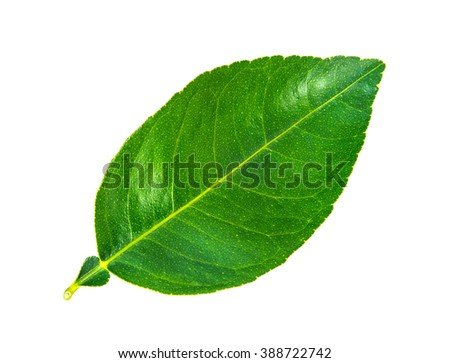 Green leaf. Isolated on a white background