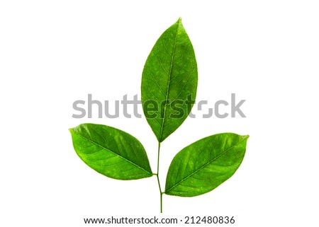 green leaf. Isolated on white background