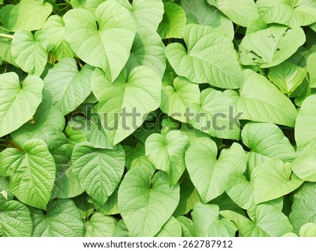 green leaf ivy - stock photo