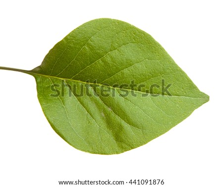 green leaf lilac. isolated on white background