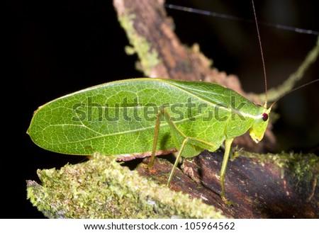 Green leaf mimic bush cricket on a leaf in rainforest, Ecuador - stock photo