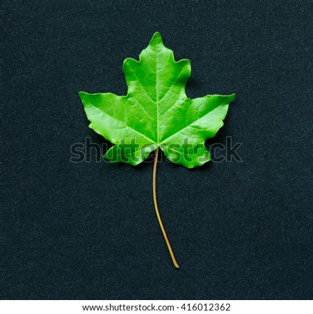 Green leaf of a maple tree on a dove-blue background - stock photo