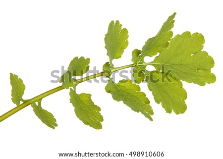 Green leaf of greater celandine isolated on white