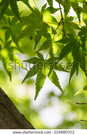 Green leaf of Japanese maple