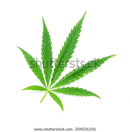 Green leaf of marijuana