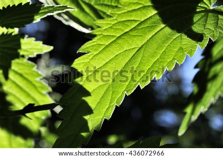 green leaf of nette plant - stock photo