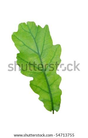 Green leaf of oak . Design Element - stock photo