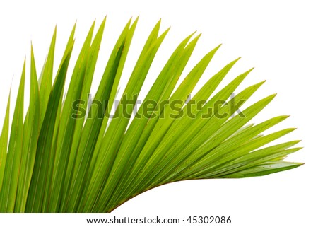 green leaf of palm tree - stock photo