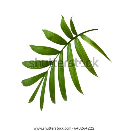 Green leaf of palm tree isolated