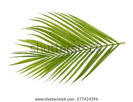 Green leaf of palm tree  isolated on white background, with clipping path - stock photo
