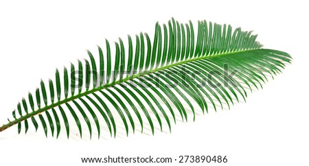 Green leaf of sago palm tree isolated on white - stock photo