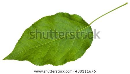green leaf of Sambucus racemosa ( elderberry , red elderberry, Red-berried Elder) isolated on white background - stock photo