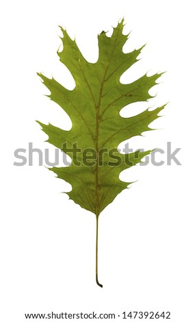 Green leaf of The Northern Red Oak (Quercus rubra) as an spring symbol, and as a seasonal themed concept isolated on a white background - stock photo