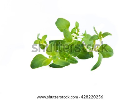 green leaf of thyme on white background - stock photo