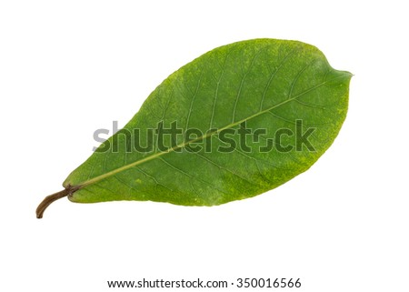 Green leaf of tropical almond tree isolated on white background