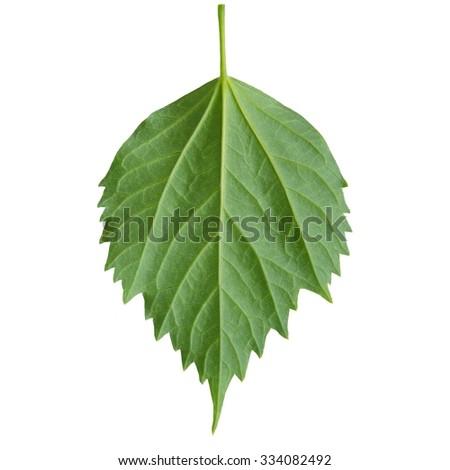 green leaf on a white.Hibiscus leaf. - stock photo