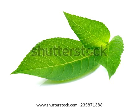 Green leaf on white background - stock photo