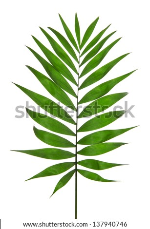 Green Leaf Palm Tree (Howea) isolated on white - stock photo