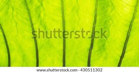 green leaf texture, green leaf background - stock photo