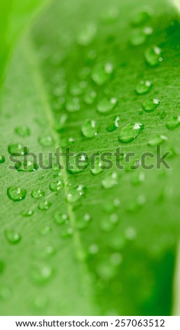 Green leaf with water droplets,Closeup - stock photo