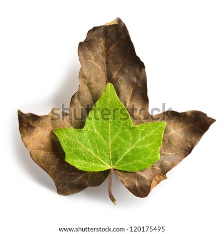 Green leaf with water drops on a dried leaf symbolizing vitality