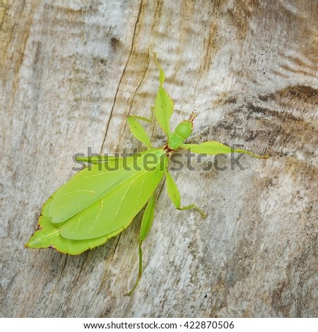 Green leaflike stick-insect Phyllium giganteum on a tree trunk in natural environment - stock photo