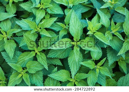 green leafs of stinging nettles in close up - stock photo