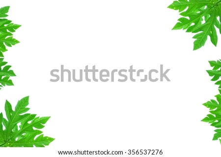Green leave of the papaya on white background.