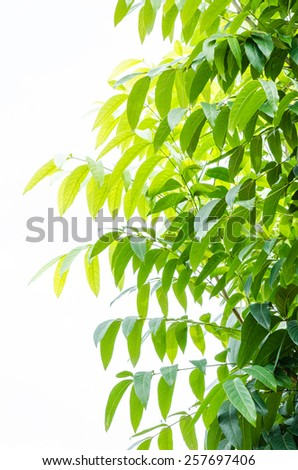 Green leave on tree in white background - stock photo