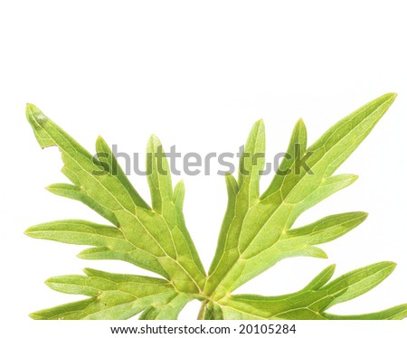 green leaves against white background