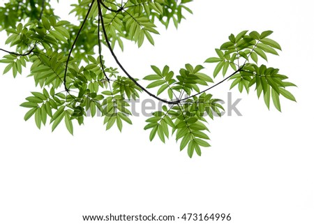 green leaves and branch on white sky background