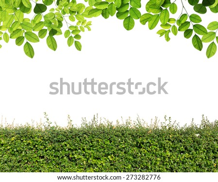 Green leaves and Green hedge isolated - stock photo