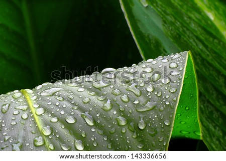 Green leaves and raindrops - stock photo