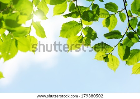 green leaves freshness at spring season and sun on blue sky - stock photo