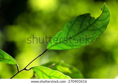 Green leaves in the forest