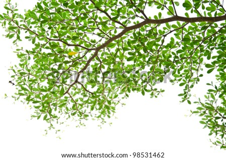 Green leaves isolated on the white.