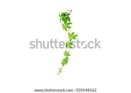 Green leaves isolated on white background,with clipping path - stock photo