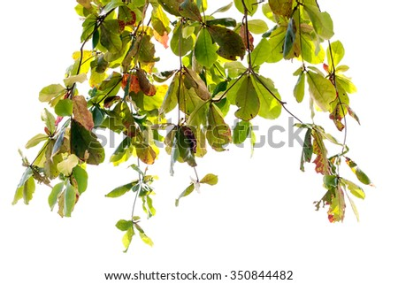 Green leaves  isolated on white background , with clipping path