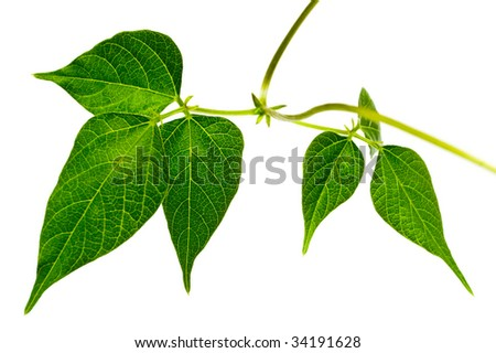Green leaves isolated. Welcome! More similar images available. - stock photo