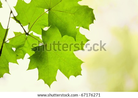 Green leaves of a maple in a sunny day - stock photo