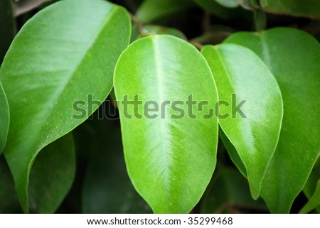 Green leaves of a rubber plant - stock photo