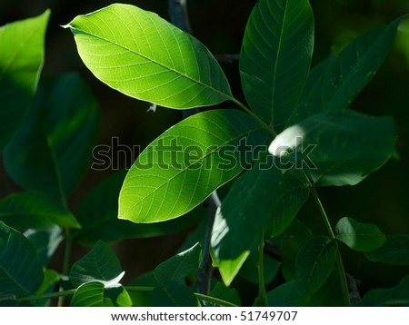 Green leaves of a tree partly in shadow - stock photo